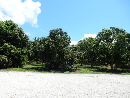 Mangoes From Pine Island Fl