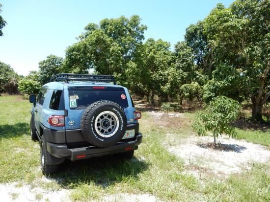 Bokeelia, FL: parked in a mango grove