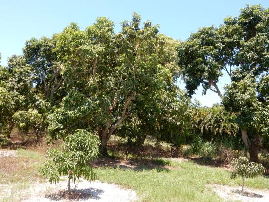 Bokeelia, FL: grove