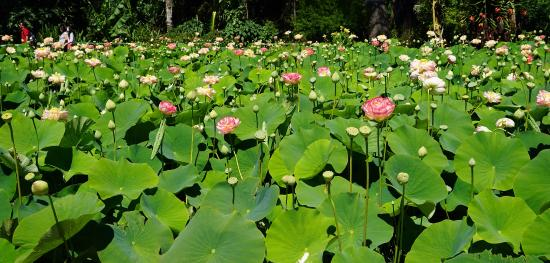 Lotus Flower Fully Open Picture Of Blue Lotus Water Garden Yarra