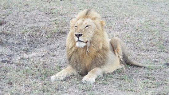 Arathusa Safari Lodge: Male lion