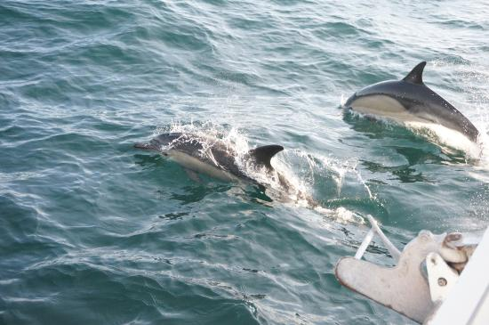 Hermanus, Sudáfrica: Botlle nose dolphins off the bow.