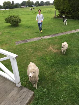 Temuka, New Zealand: Sheep and dog playing chasing game with guest