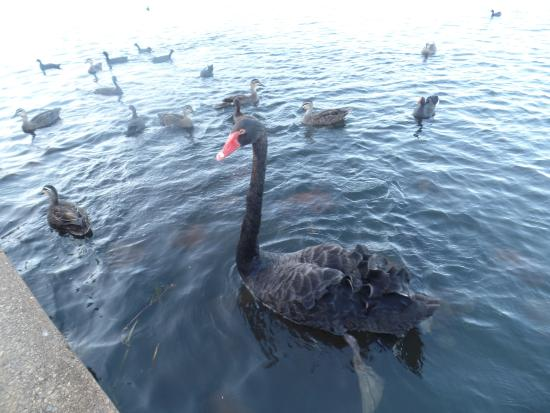 North Lakes, Australien: Some of the birds at Lake Eden.