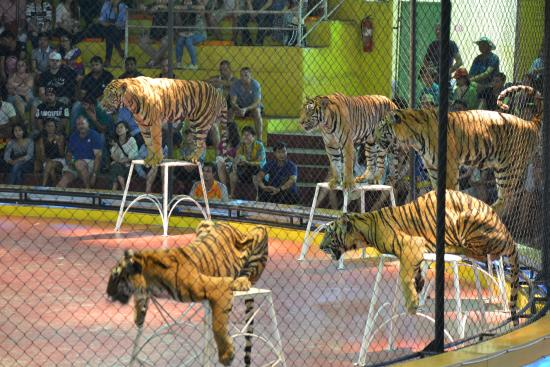 Tiger show picture of sight seeing bangkok bangkok - Show me a picture of the tiger ...