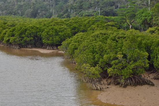 Gesaji River : マングローブ