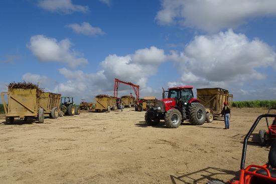 Bayahibe, Dominik Cumhuriyeti: Plantation de canne à sucre