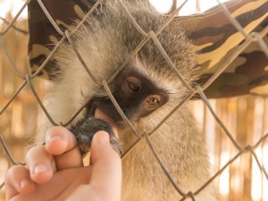 Addo, Zuid-Afrika: Lucy, das Äffchen mit einem Arm. Wurde durch eine Wildererfalle verletzt. Wird immer freigeleass