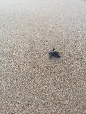Tortugueros Las Playitas : one of our turtles making his way into the ocean.