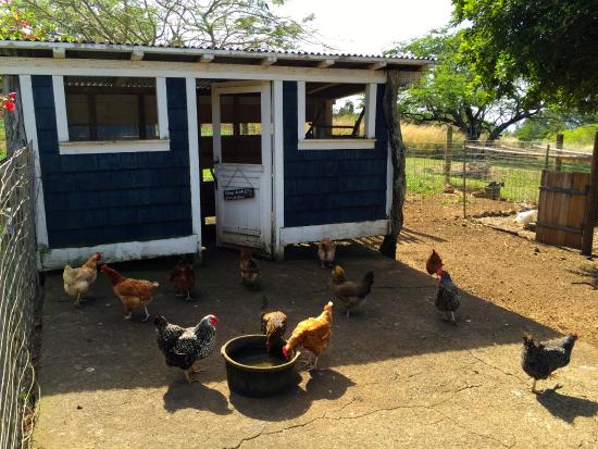 Puakea Ranch: The Hen House; eggs are in the house every day to be picked up by guests.