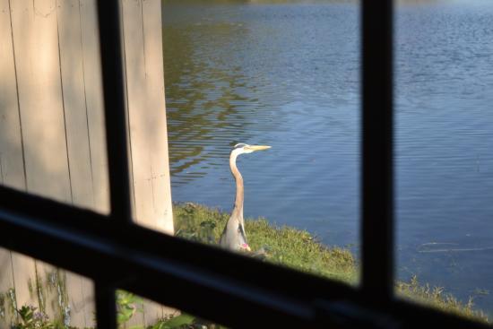 Sebring, FL: A great heron on the lake.