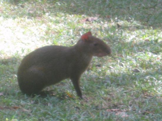 Mateo's B&B: An agouti - they are frequent visitors to the garden