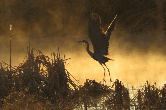 McNeal, AZ: Great Blue Heron and mist at sunrise