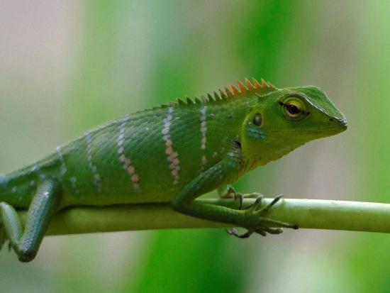nikara yala green garden lizard - Garden Lizard