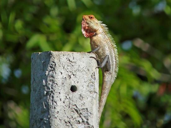 nikara yala common garden lizard - Garden Lizard