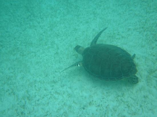 Sea Turtles At Akumal Picture Of Edventure Tours Tulum