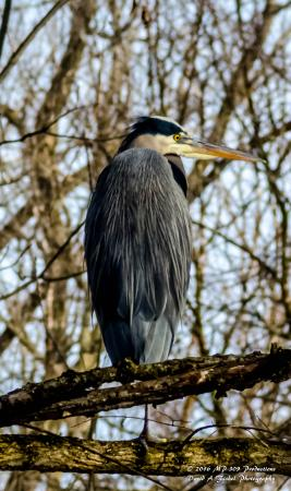 Pendleton, IN: 30-feet above the Blue Loop Trail, this Great Blue Heron perched and waited.