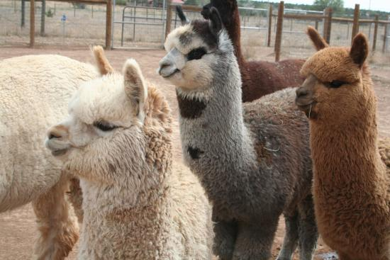 Sandia Park, NM: Alpacas everywhere