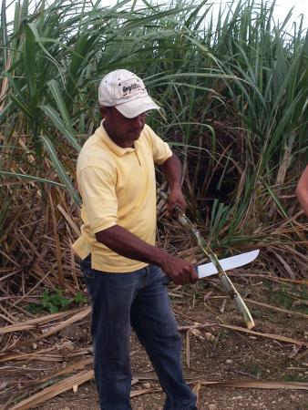 Bayahibe, Dominik Cumhuriyeti: demonstration et dégustation canne à sucre