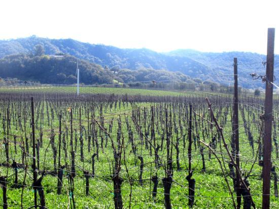 Chamisal Vineyards: Vineyards, Chimisal Vineyards, San Luis Obispo, Ca