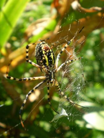 Delaware, OH: an excellent capture of a beautiful Garden Spider (Argiope aurantia)  such a helpful spider !