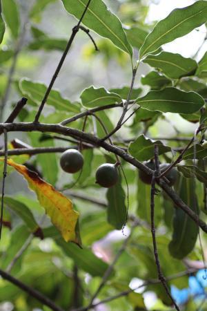 Hoolehua, Hawái: Unripe macadamia nuts