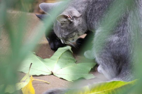 Hoolehua, Hawái: The cats enjoy macadamia nuts, too.