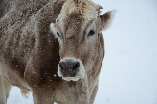 Tabernash, CO: Butters the cow