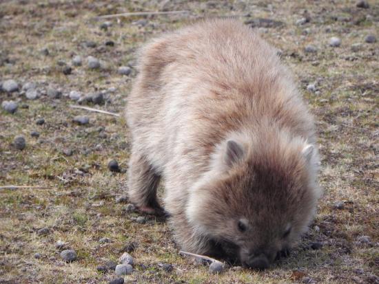 Tasmania, Australia: huggable wombat