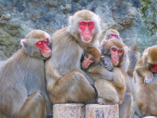 猿だんご - Picture of Takasakiyama Natural Zoo, Oita - TripAdvisor