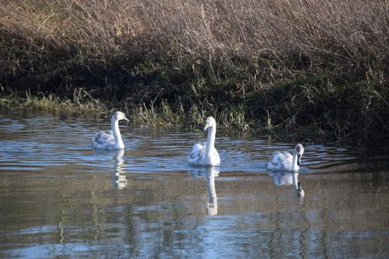 Hambrook Marshes: Some lovely swans
