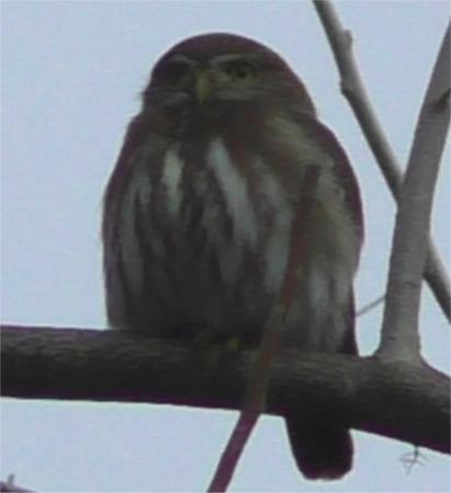 Hacienda la Esperanza: A pygmy owl at dawn at the Hacienda
