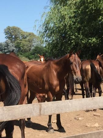 Polo Tour: Some of the ponies