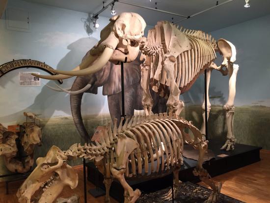 scheletro di elefante foto di museo civico di storia