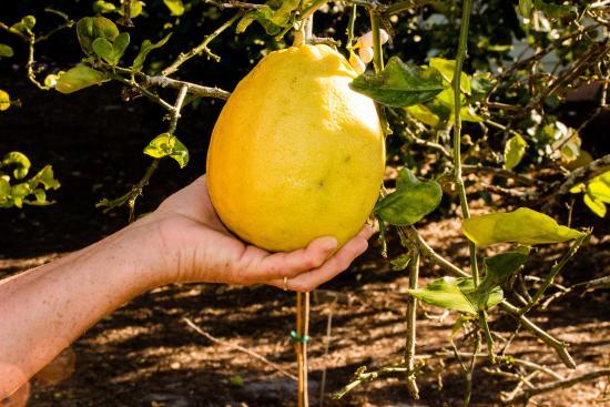 Harry P. Leu Gardens: Giant Lemon In The Citrus Garden