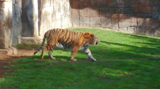 Tigre de bengala picture of bioparc fuengirola for Bengala spain malaga