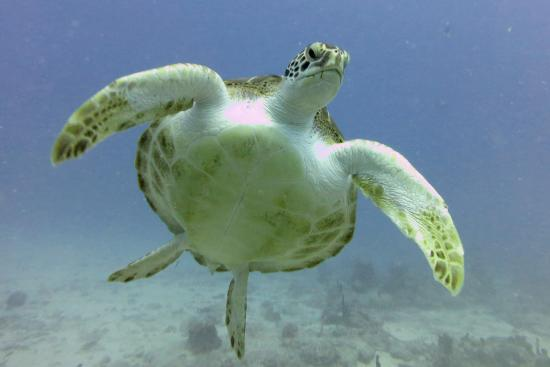 Simpson Bay, St Martin / St Maarten: This turtle was as interested in us as we were in her