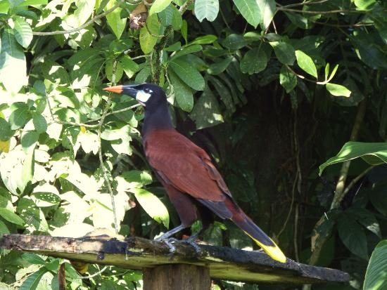 Toucan & Tarpon: Motezuma orpenodola on the toucan and tarpon bird table