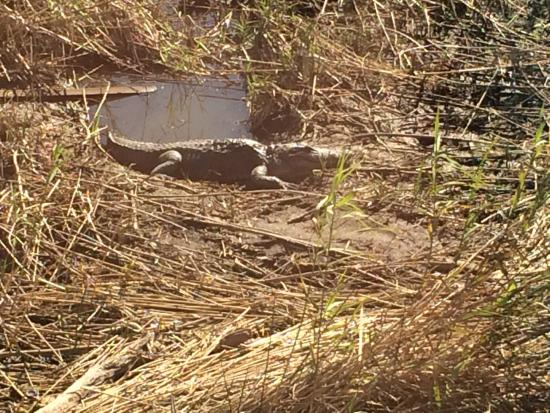 Saw this alligator sunning outside our window picture of for Felixs fish camp
