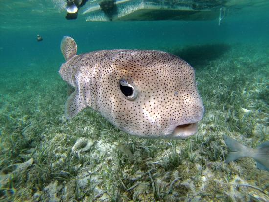Puffer fish picture of caveman snorkeling tours caye for How much is a puffer fish