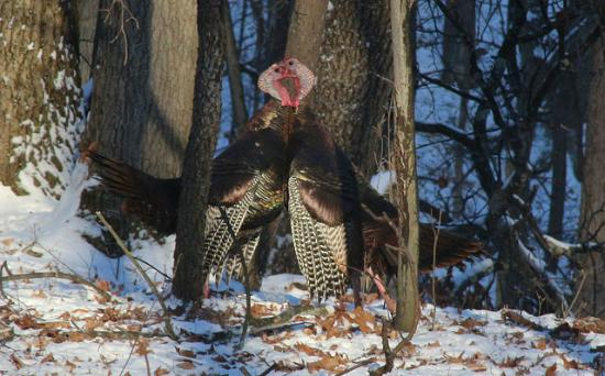 Milford, MI: Male Turkeys in Dominance Test