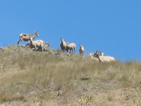Wild Horse Island State Park: Mountain Goats roam everywhere