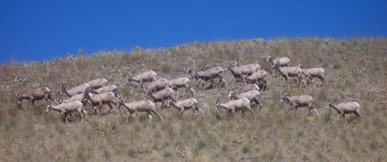 Wild Horse Island State Park: More mountain goats