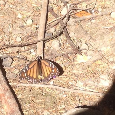 Angangueo, Mexico: Die Fotos zeigen die Monarchfalter beim Erwachen, respektive beim wärmen in der Sonne. Ein gutes