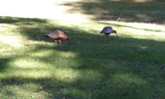 Hosteria Altos Los Pioneros: parque del hostal, donde encontramos estas aves