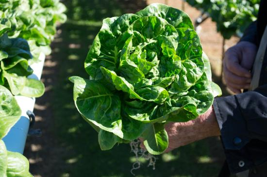 Kin Kin, Australia: Local Lettuces
