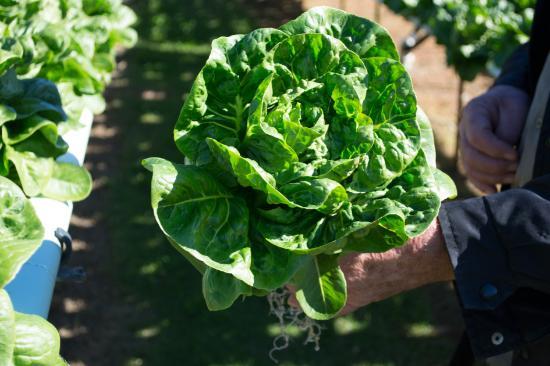 Kin Kin, أستراليا: Local Lettuces