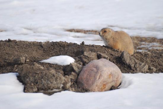 Grasslands National Park: Un chien de prairie septentrional qui ne craint pas de prendre la pose