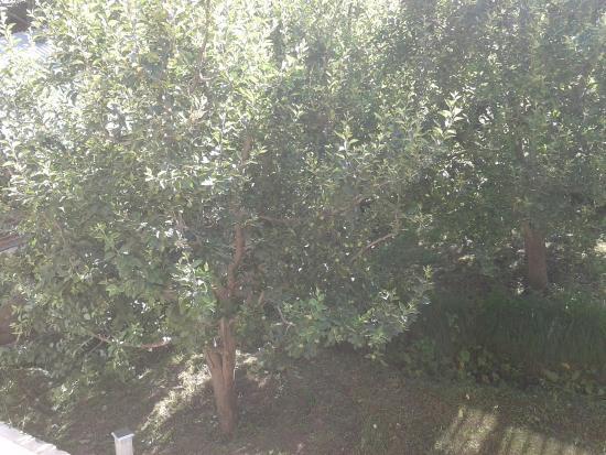 Манали, Индия: apple garden