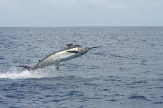 Deep sea fishing picture of big fish sports fishing for Big fish in the ocean